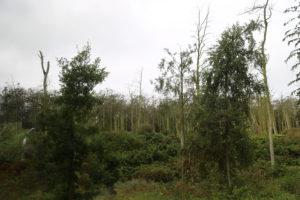 Klaipeda, Penisola di Neringa – Alberi distrutti dal guano dei cormorani.