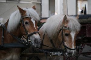 Una bella coppia di cavalli.
