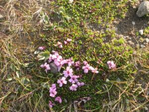 Capo Nord, flora.