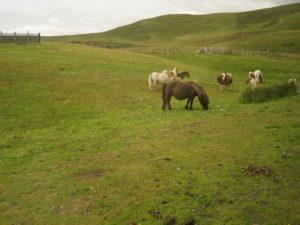 I Poni delle Shetland.