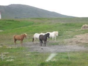 Cavalli Islandesi.