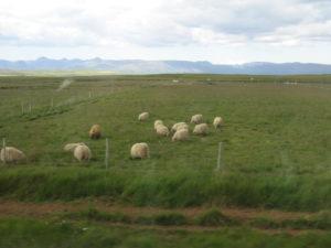 Pecore Islandesi.