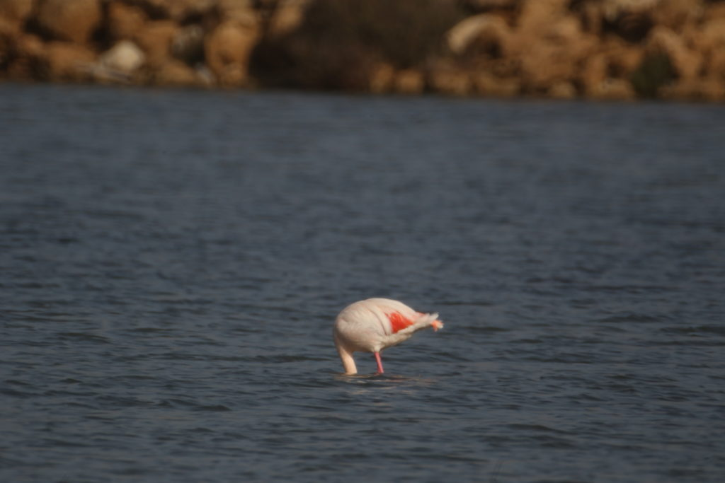 Fenicotteri rosa.