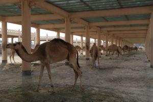 Janabiyah - Royal Camel Farm