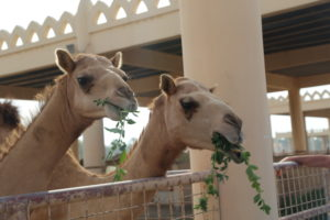 Janabiyah - Royal Camel Farm