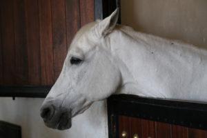 Allevamento di Cavalli di razza araba