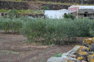 Tipica coltivazione dell'ulivo.